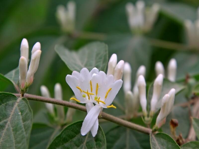 bach-blueten-16-honeysuckle-geissblatt.jpg