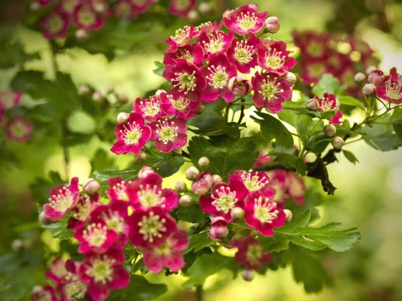 Hawthorn-flowering-red-flowers-spring_2560x1920.jpg