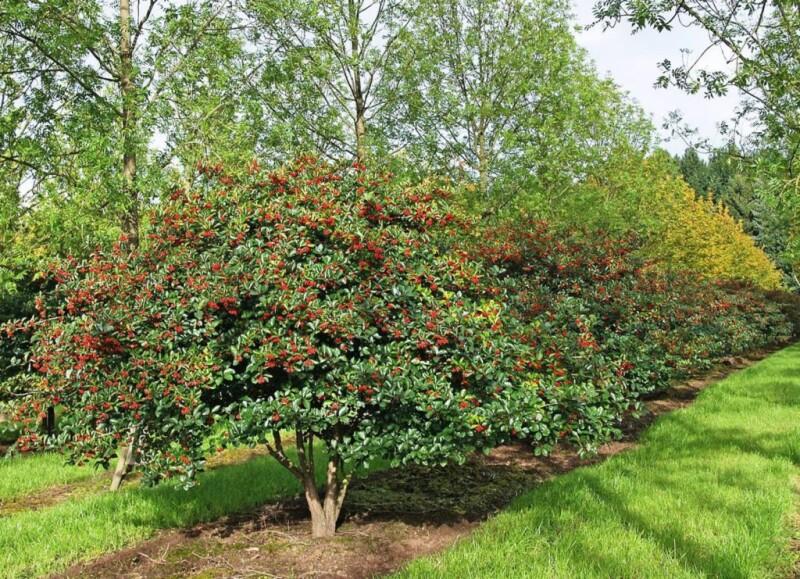 bojaryshnik-slivolistnyi-prunifolia-1024x741.jpg